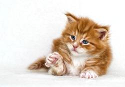 ginger tabby kitten raised his paw