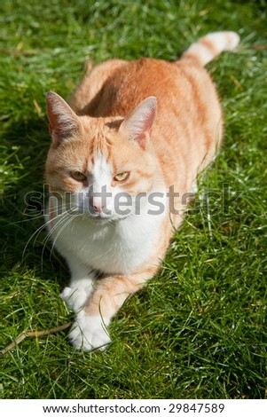 Ginger tom cat outside on the grass