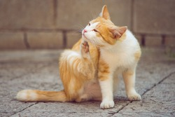 Ginger white cat paw scratches behind the ear outdoors. Fleas and ticks in domestic animals