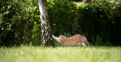 ginger white cat stretching paws on birch tree in green garden