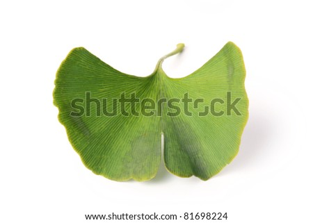 Ginkgo biloba fresh leaves  on white background