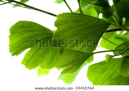 Ginkgo biloba green leaf isolated on white background