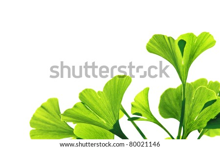 Ginkgo biloba green leaf isolated on white. Ginko leafs is the symbol of Japanese tea ceremony. Ginkgo is used to improve memory in alternative medicine.