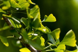 Ginkgo Biloba leaves illuminated by back light sun on a branch of the maidenhair tree with veins, structures and details close up. Gingko is a symbol for Hope and Friendship, vitality and gentleness