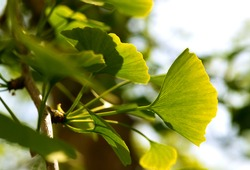 Ginkgo Biloba leaves illuminated by back light sun on a branch of the maidenhair tree with veins, structures and details close up. Gingko is a symbol for Hope and Friendship and traditional medicine