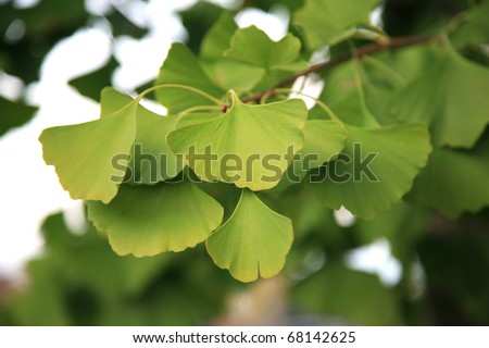 Ginkgo Biloba tree and leaves