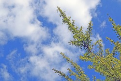 Ginkgo Biloba Tree green leaves and sky / midenhair tree / happy