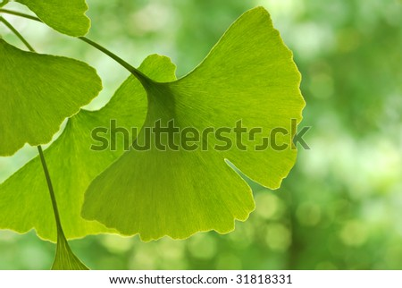 Ginkgo leaves with foliage in soft focus in background.  Close-up with extremely shallow dof.