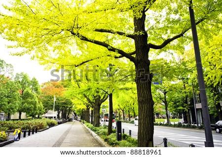Ginkgo trees at Yamashita Park in Yokohama, Japan.