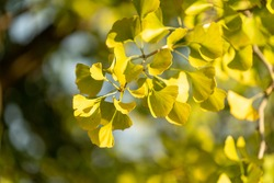 Ginko leaves and branches on a blurry natural background