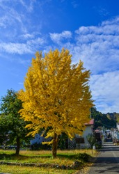 Ginko tree with yellow leaves at autumn in Kyoto, Japan. Colorful autumn leaves, called koyo in Japanese, attract many visitors in the fall.