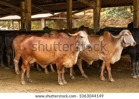 Gir cattle in Brazilian rural corral