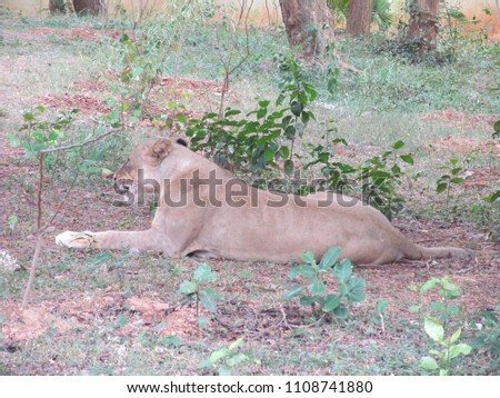 Gir Forest National Park and Wildlife Sanctuary, also known as Sasan Gir, is a forest and wildlife sanctuary near Talala Gir in Gujarat. From Gir forest the lion was taken to Nandankanan , Odisha