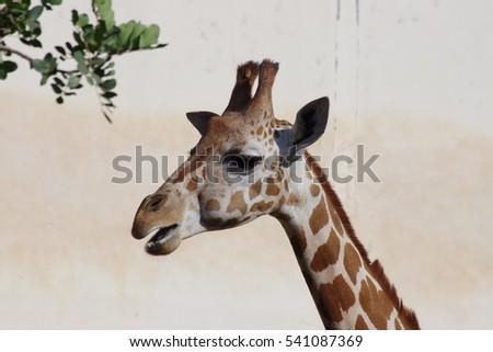 Giraffe #541087369