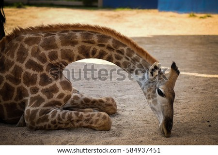 Giraffe. #584937451