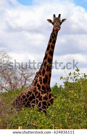 Giraffe #624836111