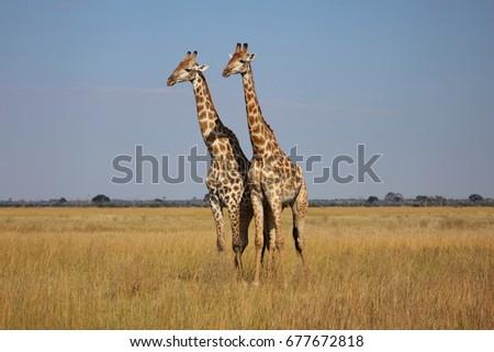 Giraffe #677672818