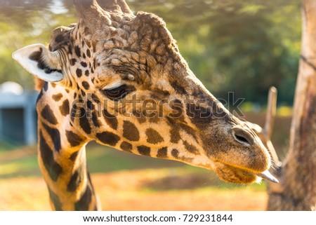 giraffe #729231844