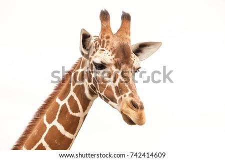 Giraffe #742414609