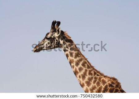Giraffe #750432580