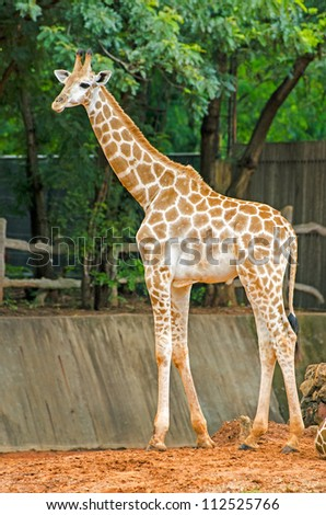 Giraffe Africa long neck native.