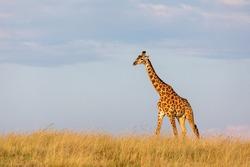 Giraffe against the sky in a grassland