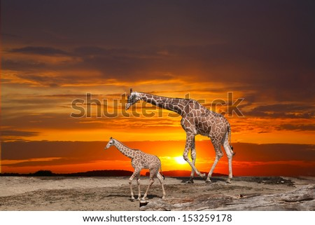 Giraffe and a cub against a bright sunset