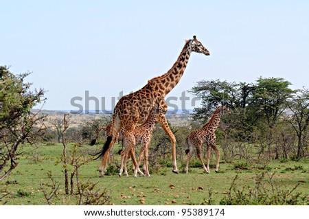 Giraffe and babies, Masai Mara, Kenya