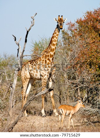 Giraffe and Impala - Kruger National Park, South Africa