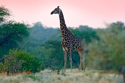 Giraffe and morning sunrise. Green vegetation with animal portrait. Wildlife scene from nature. Orange light in the forest, Okavango, Botswana, Africa.
