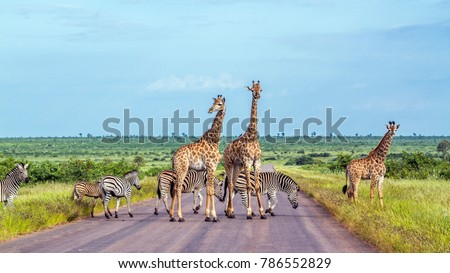 Giraffe and plains zebra in Kruger national park, South Africa ; Specie Giraffa camelopardalis and Equus quagga burchellii