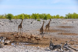 Giraffe and springbok at small waterhole in Etosha National Park