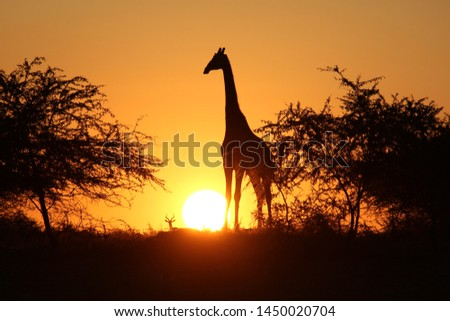 Giraffe and the sunset, South Africa