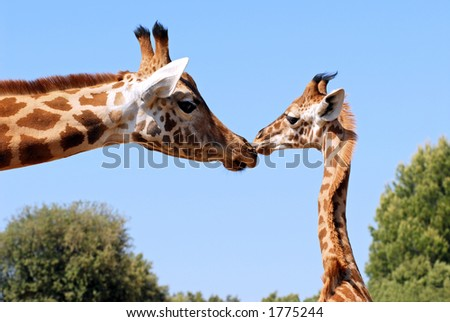 giraffe and young