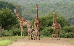 Giraffe and Zebra walking in on the dirt road in the Kruger National Park. RSA