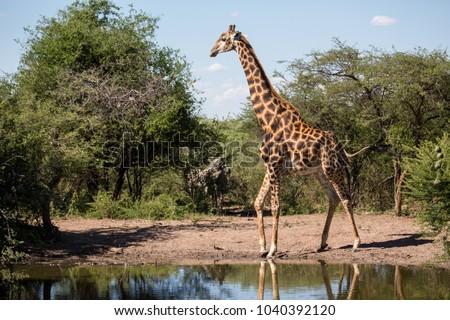 Giraffe at Khama Rhino Sanctuary in Botswana