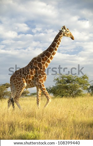 Giraffe at Lewa Conservancy, Kenya, Africa