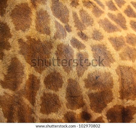 Giraffe at the zoo.