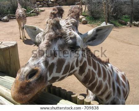 Giraffe en el parque zoológico