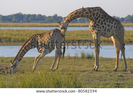 Giraffe bull and cow drinking