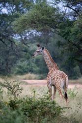 Giraffe calf alone in the bushveld