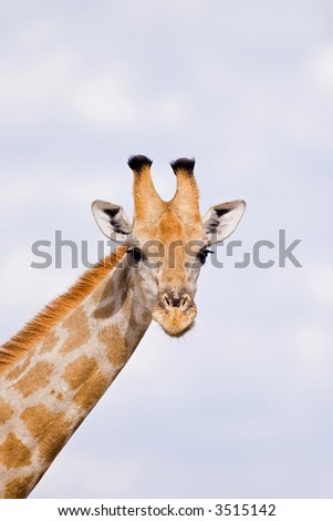 Giraffe close-up; Giraffa camelopardalis