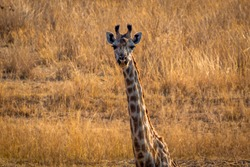 Giraffe closeup in the middle of vlei savanna, Matopos, Zimbabwe