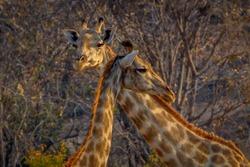 Giraffe closeup in the middle of vlei savanna, Matopos, Zimbabwe