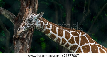 Giraffe, Closeup of Giraffe. The giraffe is a genus of African even-toed ungulate mammals, the tallest living terrestrial animals and the largest ruminants.  #691377007