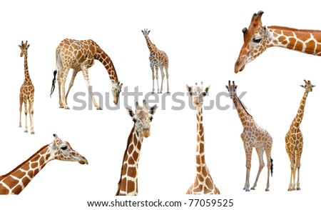 giraffe collection isolated on white background