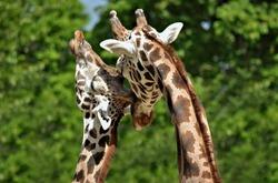 Giraffe couple.