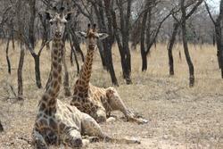 Giraffe couple at Kruger National park, Africa safari, wildlife