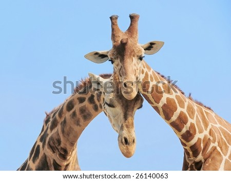 Giraffe couple in love with blue sky on background - stock photo