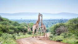 Giraffe couple meeting in scenery Kruger National park, South Africa ; Specie Giraffa camelopardalis family of Giraffidae